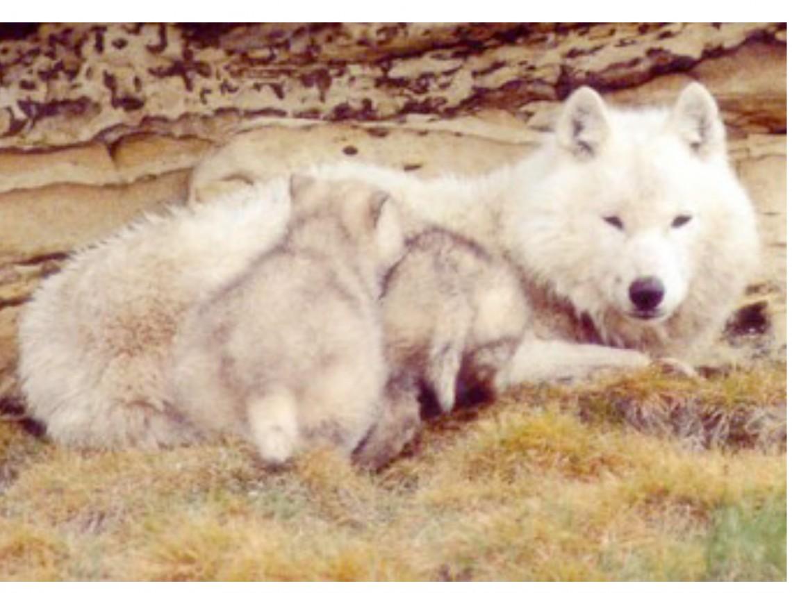 El periodo de socialización II. El perro y el lobo.