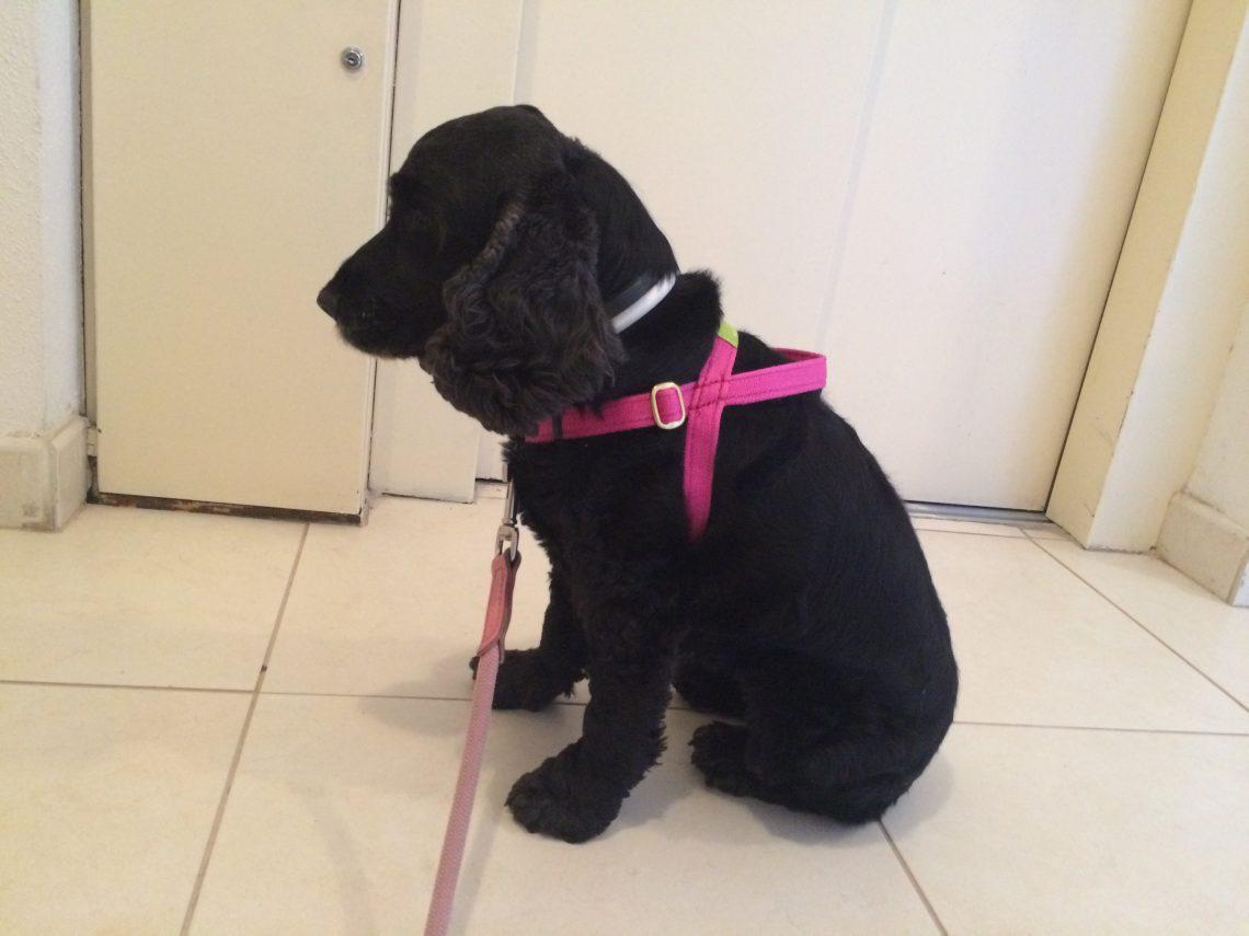Greta con arnés dogtools