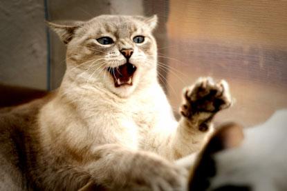 La agresividad del gato   Etolia Etología veterinaria