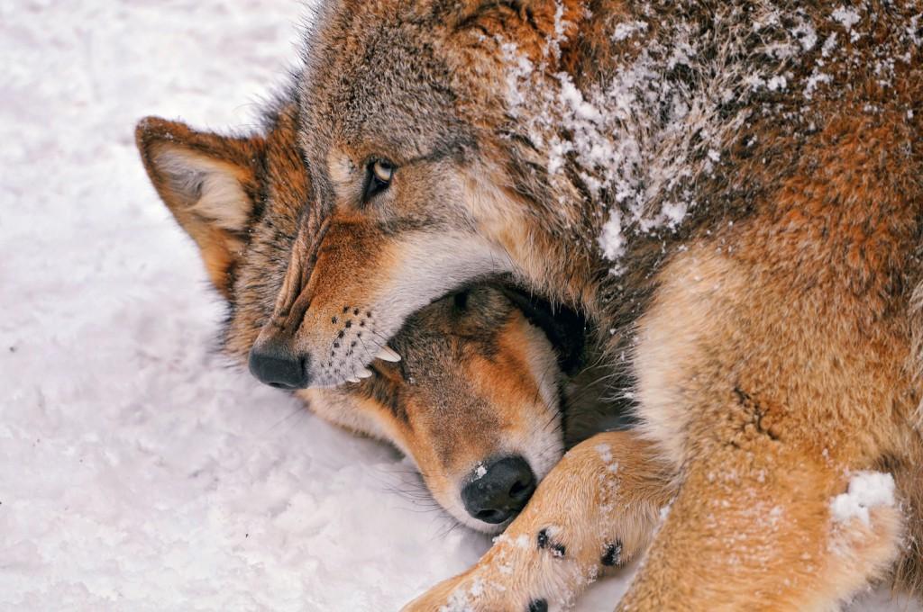 Lobo defendiendo la comida