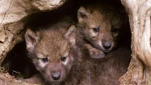 Periodo de socialización II. El perro y el lobo.