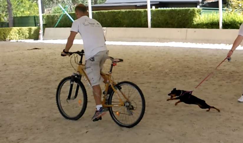 Perro reactivo con bici