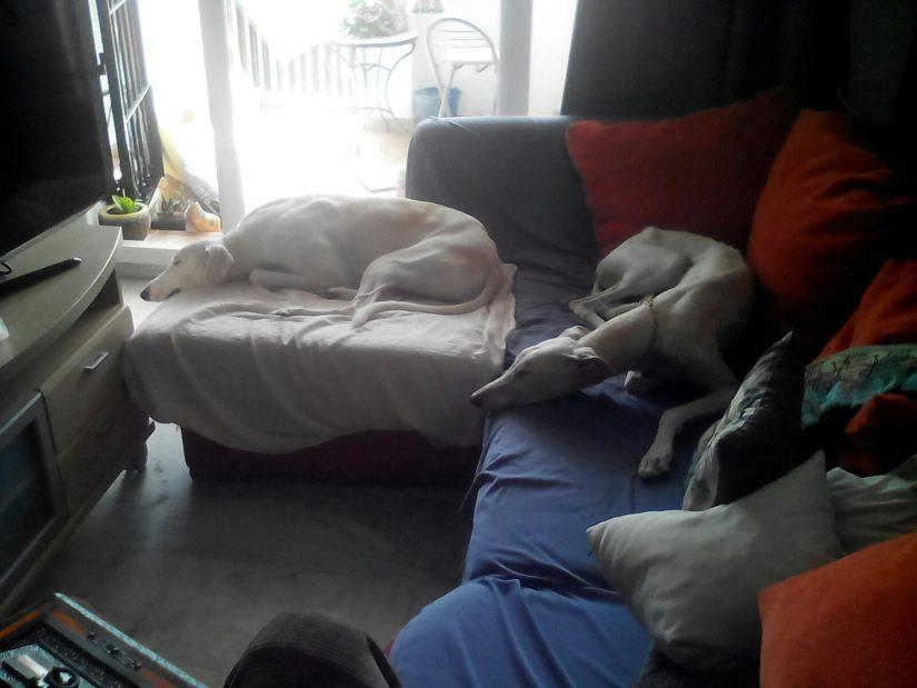 Galgos en sofá