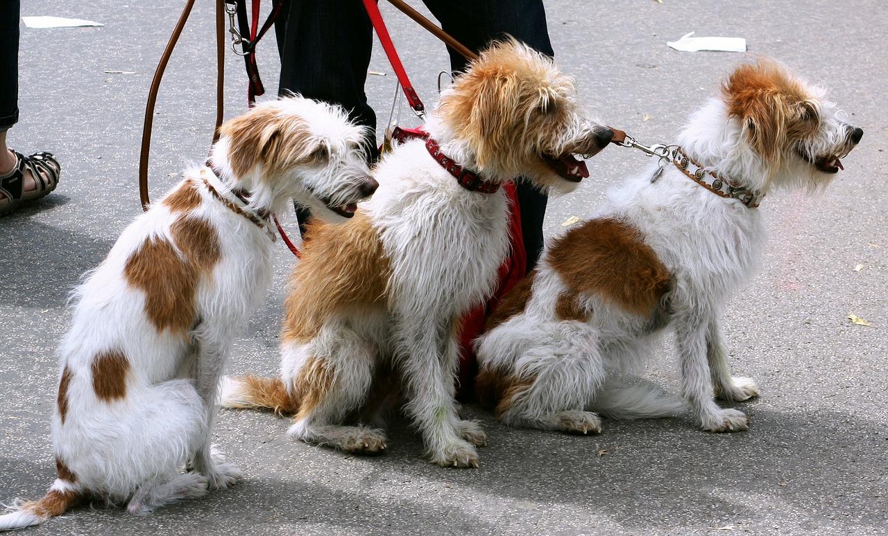 Paseador canino